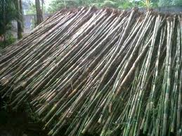 Jual Pohon Bambu Jepang BSD Serpong