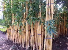 Jual Pohon Bambu Panda Depok